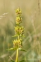Gelber Enzian (Gentiana lutea) im Fruchtstand