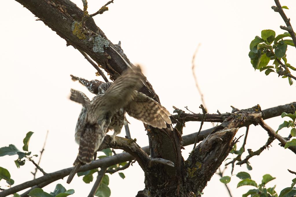 Das Steinkauz-Männchen übergibt die Maus dem Weibchen