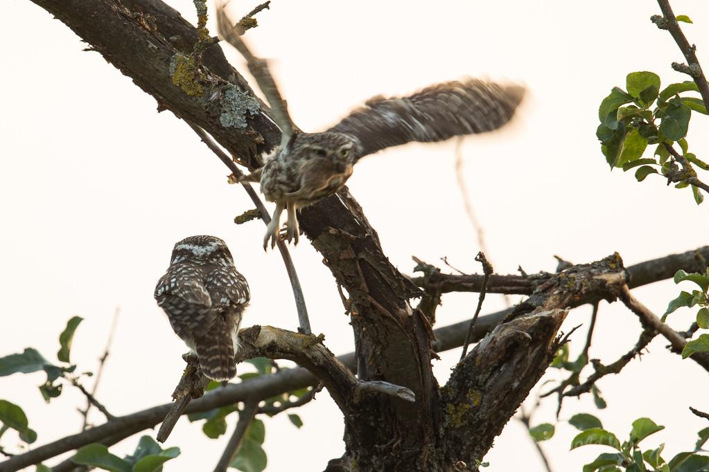 Das Weibchen bringt das Futter zu den Kleinen