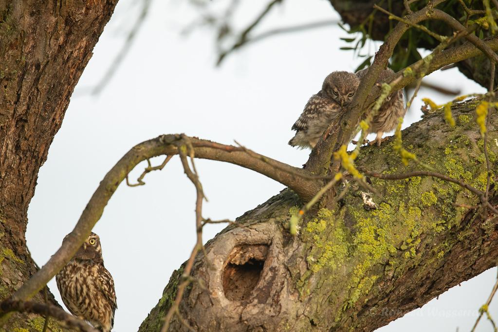 Steinkauz-Ästlinge mit Elternvogel