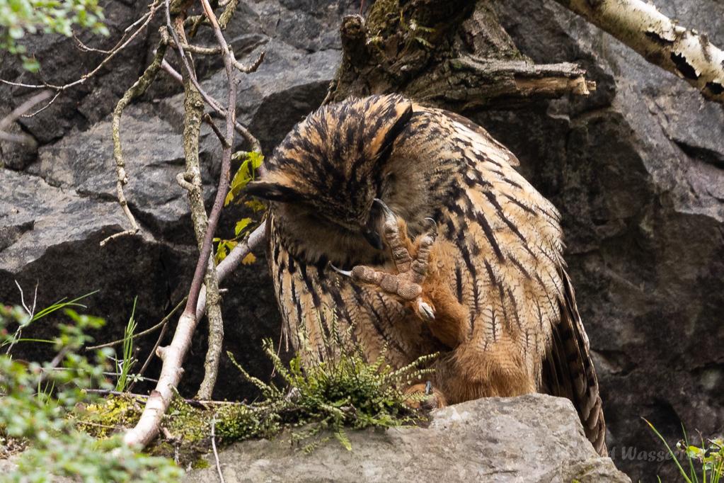 Mit den riesigen, gefährlichen Krallen kratzt sich das Uhu-Weibchen in Augennähe
