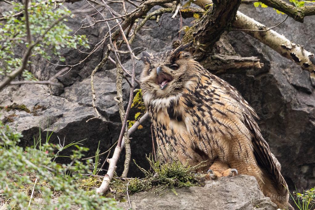 Das Uhu-Weibchen bewacht die Nisthöhle...