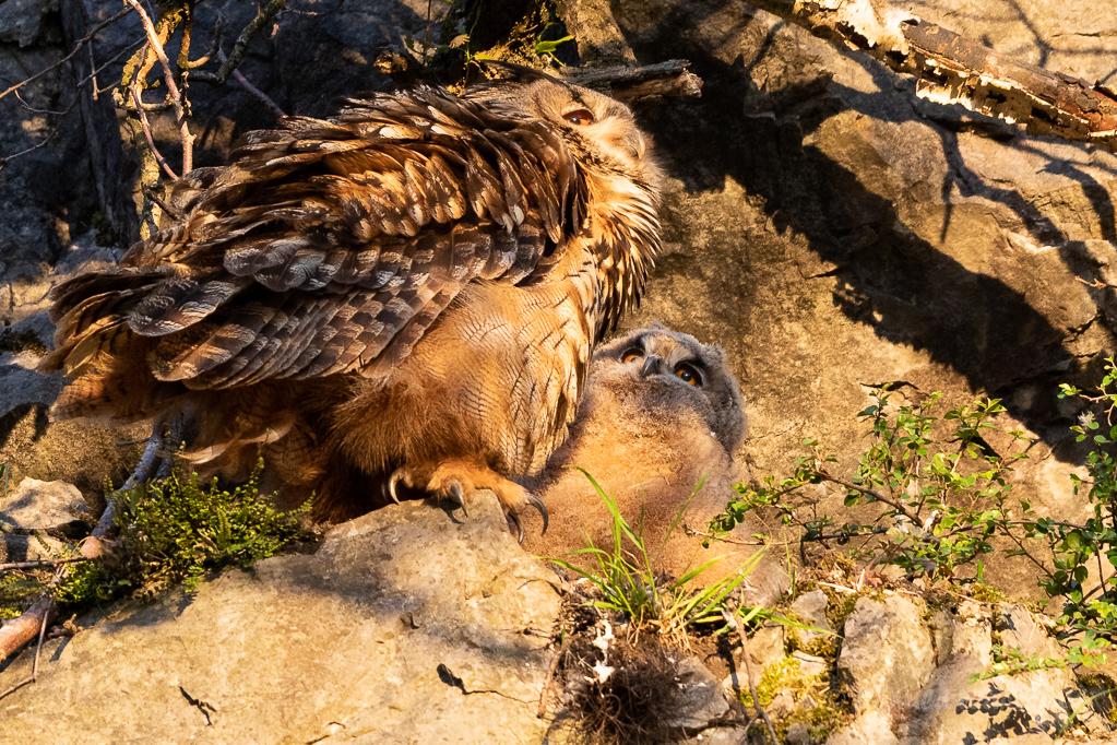 Uhu-Ästling mit Altvogel