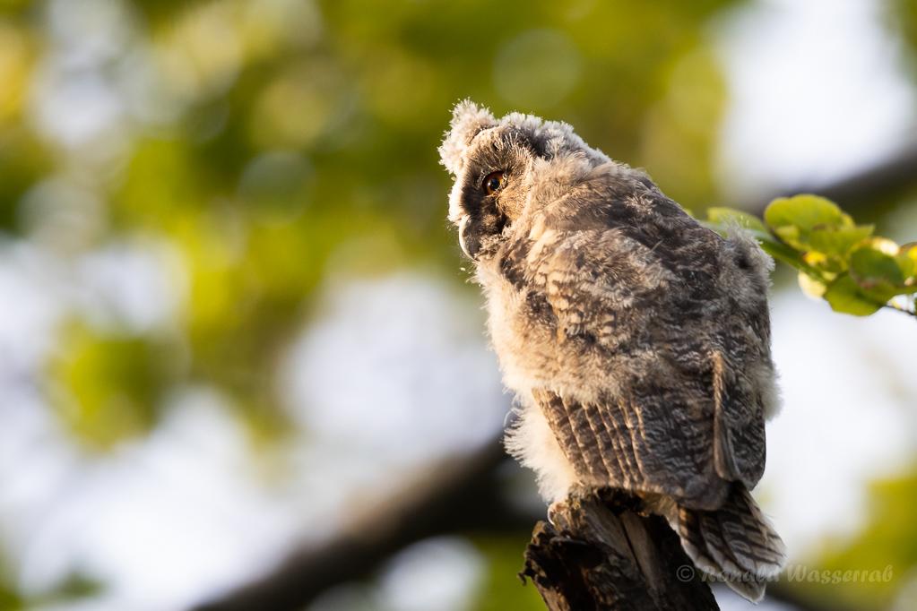 Waldohreulen-Nestling (Asio otus)