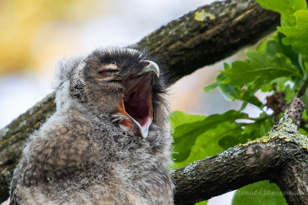 Müder Nestling (Asio otus)