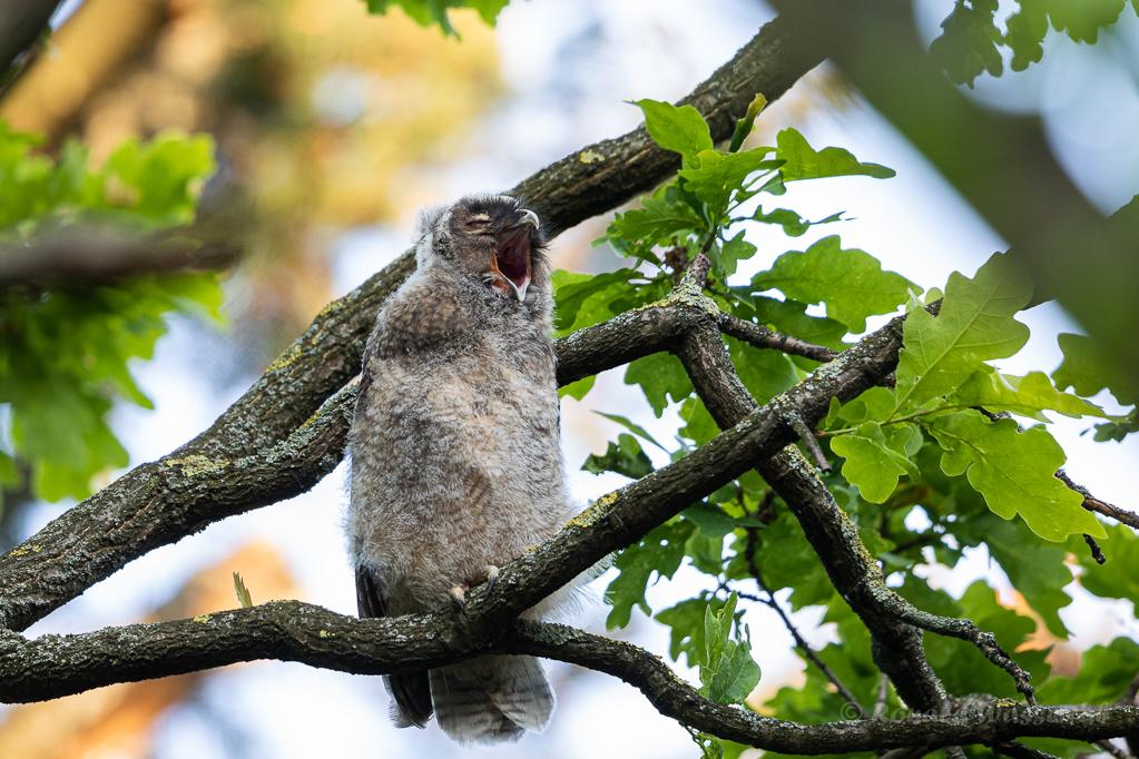 Müder Waldohreulen-Nestling (Asio otus)