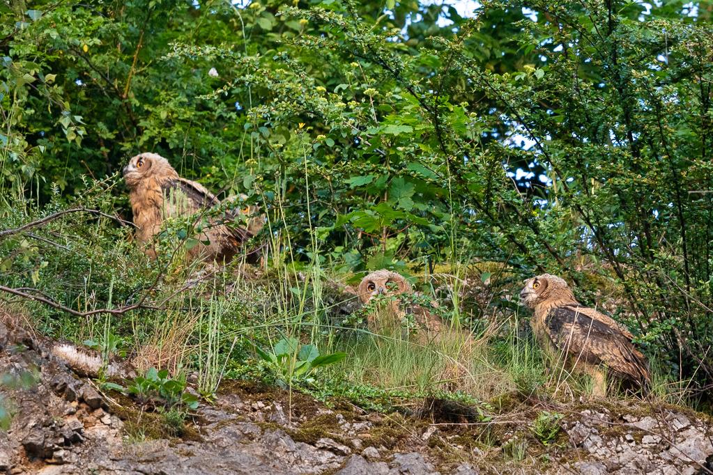 Alle vier jungen Uhus finden oben auf der Steinbruchkante wieder zusammen
