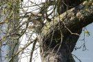 Steinkauz im Brutbaum
