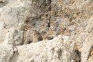Junge Uhus im Steinbruch Weilberg
