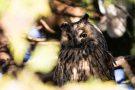 Waldohreule (Asio otus)