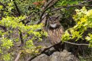 Derweil sitzt das kleinere Uhu-Männchen ca. 50 Meter weiter in einem Baum