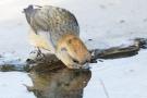 Kiefernkreuzschnabel (Loxia pytyopsittacus) an der Wasserstelle
