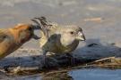 Kiefernkreuzschnäbel (Loxia pytyopsittacus) an der Wasserstelle