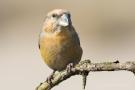 Kiefernkreuzschnabel (Loxia pytyopsittacus) Driebergen (NL)