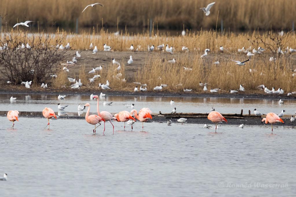 Flamingos im Zwillbrocker Venn