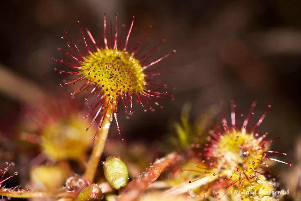 Sonnentau-Blätter