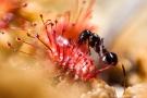 Ameisenopfer im Sonnentau