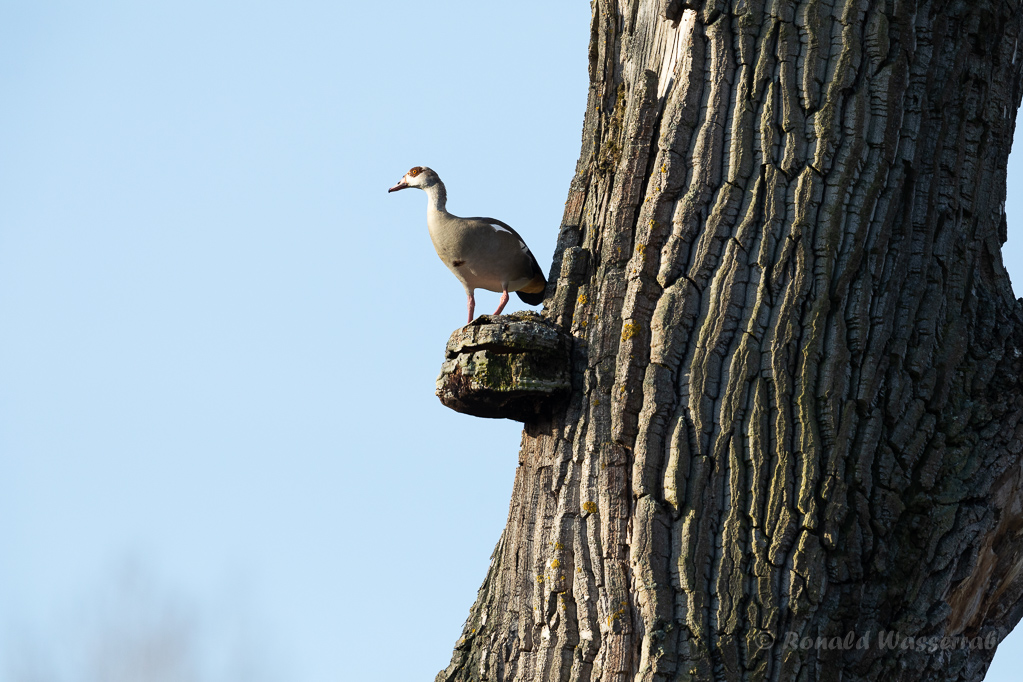 Nilgans (Alopochen aegyptiaca) auf Baumpilz