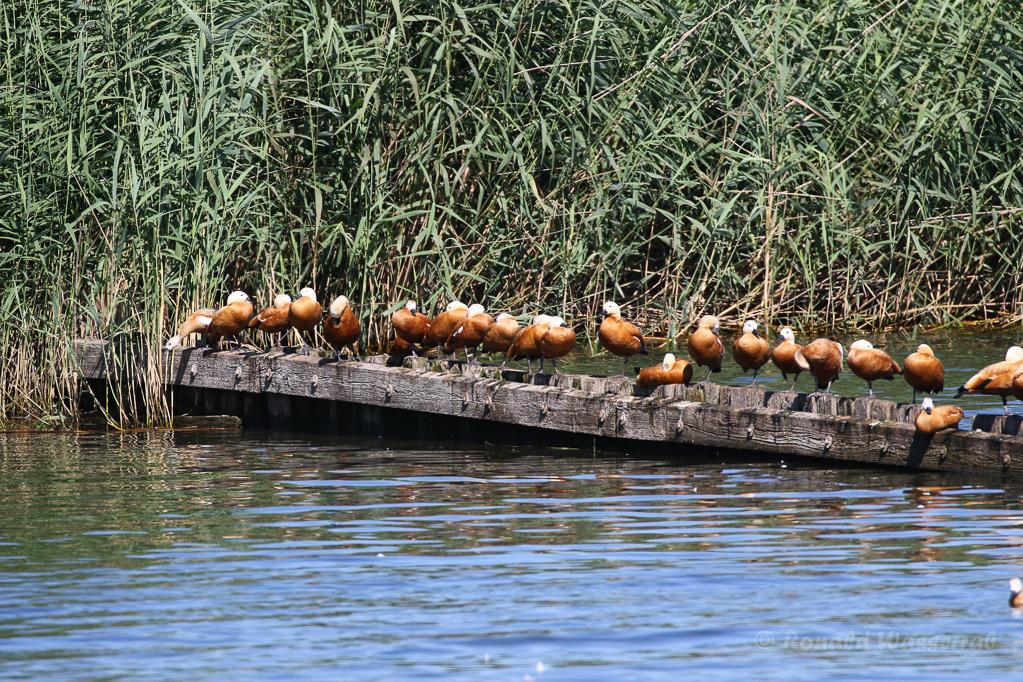 Rastende (nicht: rostende!) Rostgänse (Tadorna ferruginea)