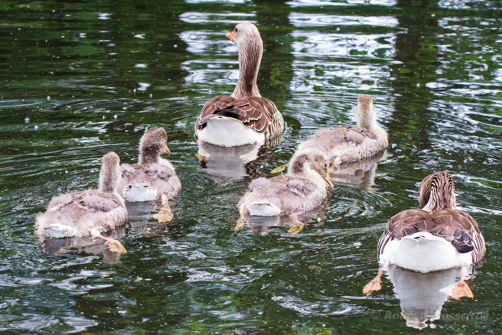 Graugansfamilie (Anser anser)