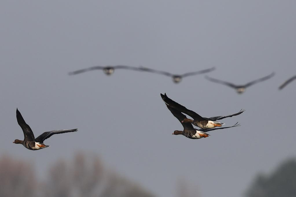 Fliegende Blässgänse (Anser albifrons) im Katinger Watt