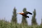Fliegende Rostgans (Tadorna ferruginea)