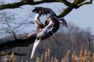 Luftkampf der Graugänse (Anser anser)