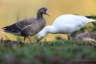 Schneegans (Anser caerulescens) und Blässgans (Anser albifrons)
