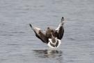 Fliegende Graugans (Anser anser) Zwillbrocker Venn