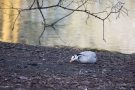 Streifengans (Anser indicus) im Hofgarten Düsseldorf