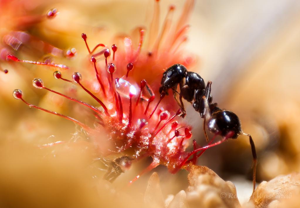 Ameisenopfer im Sonnentau (Kranzbruch)