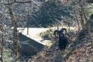 Mufflon am Ochsenkopf