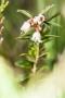 Preiselbeer-Blüten (Hoscheit/Paustenbacher Venn)