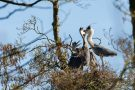 Fütterung der Graureiher (Ardea cinerea)