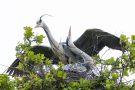 Graureiher-Pärchen (Ardea cinerea) begrüßt sich