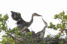 Junge Graureiher (Ardea cinerea)