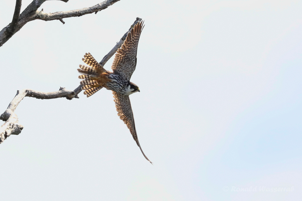 Baumfalke (Falco subbuteo) am Schleienloch