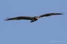Fischadler (Pandion haliaetus) in Moos