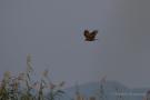 Rohrweihe (Circus aeruginosus) über der Fußnacher Bucht