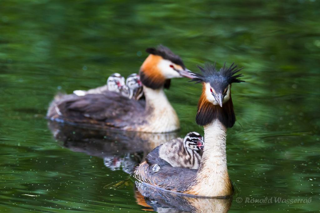 Haubentaucherfamilie