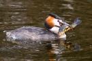 Haubentaucher mit Fisch auf der Nette