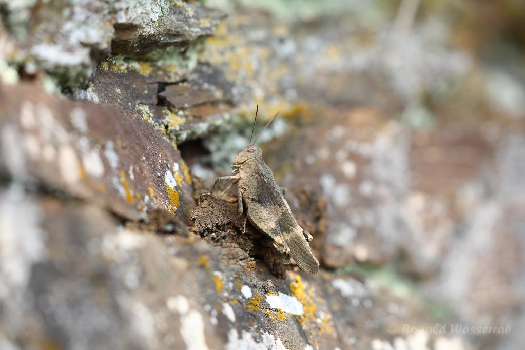 Rotflügelige Ödlandschrecke (Oedipoda germanica) am Apolloweg