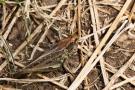 Brauner Grashüpfer (Glyptobothrus brunneus)