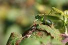 Großes Grünes Heupferd (Tettigonia viridissima)