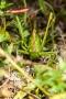 Heupferd (Tettigonia viridissima)