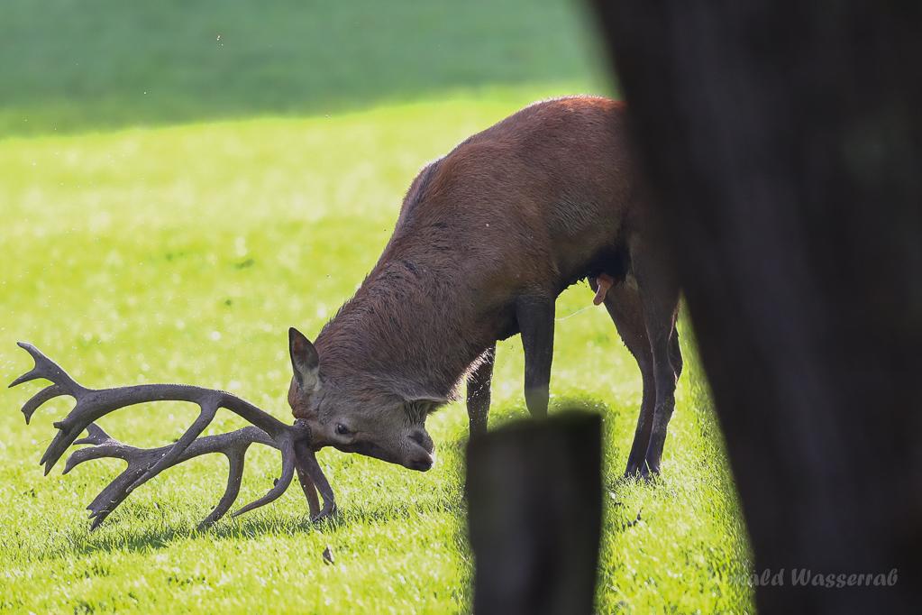 Hirsche (Cervus elaphus) nässen sich während der Brunft gerne ein