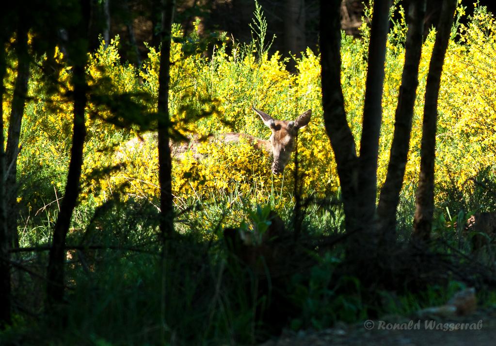 Hirsch (Cervus elaphus) frisst Ginster im Hürtgenwald