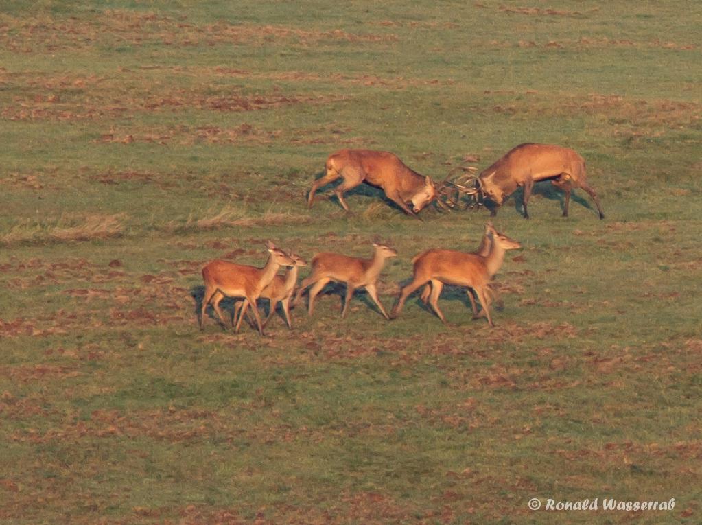 Kämpfende Hirsche (Cervus elaphus) auf der Dreiborner Höhe