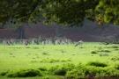 Damwild (Dama dama) im Wildpark Dülmen