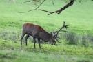 Hirsch (Cervus elaphus) kämpft mit Baum in der Hirschbrunft